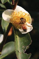 蜜蜂幫忙授粉
