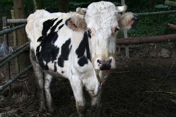 可愛的乳牛