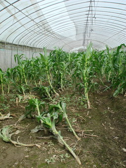 dsc06422struggling-corn.jpg