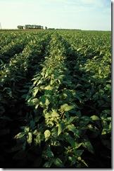 soybeanplant